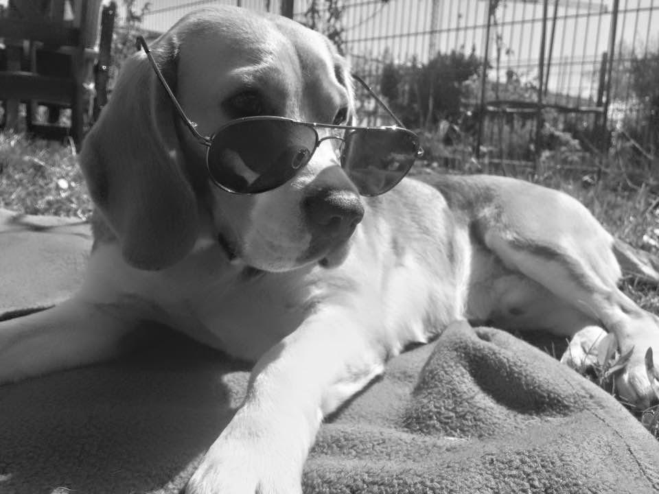 Beagle mit Sonnenbrille